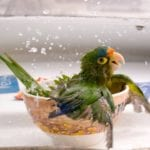 bathing-parrot_17802_600x450