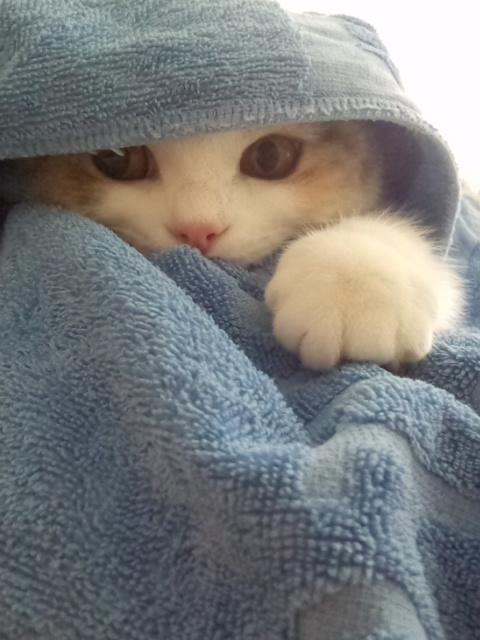cutest cat in towel