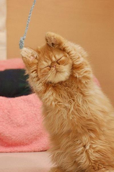 i surrender cat