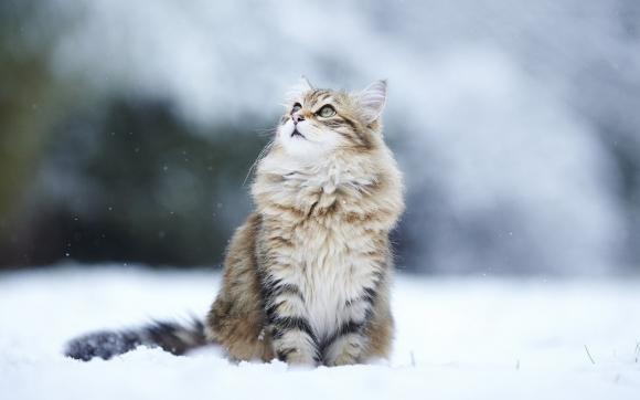 Fluffy snow cat