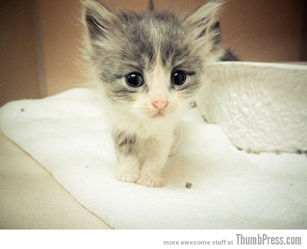 30 Most Adorabl... Fluffiest Kittens In The World