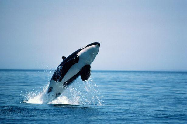 Orca+whale