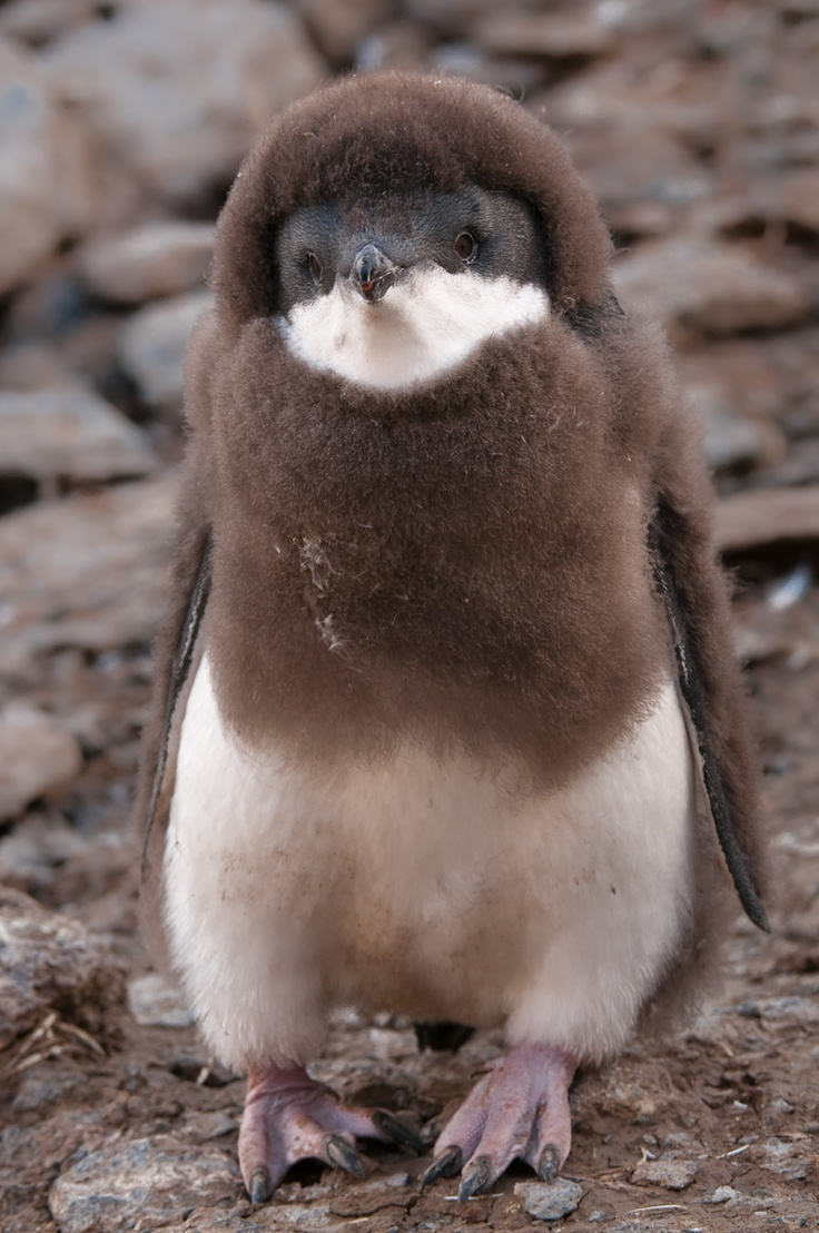 penguin animal animals amazing brown precious penguins adorable cutest fluffy ever too penquin pinguin sleeping ugly mini seen friends