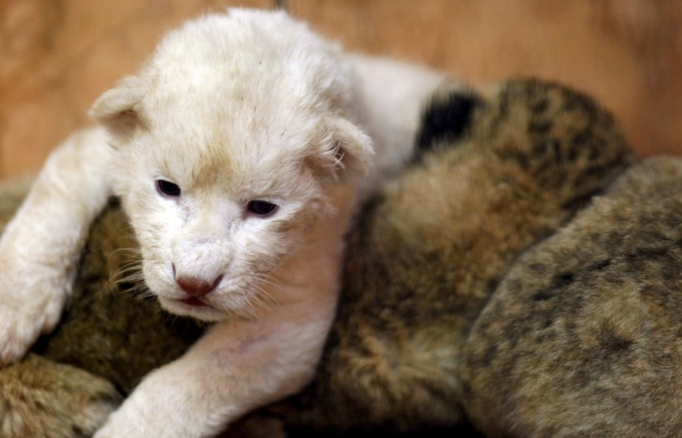 A white African lion cub