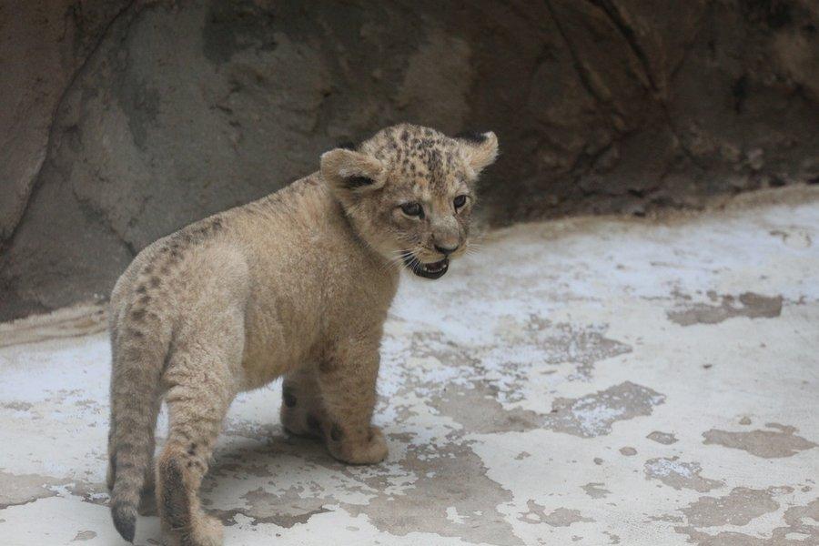 Cutest_Lion_cub_by_Tigerlover4