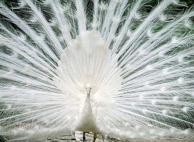 Dance of the White Peacock