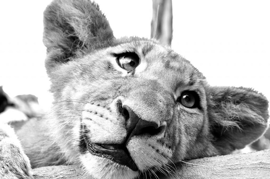 Daydreaming Lion Cub