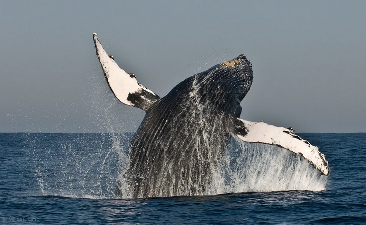 Flip of a Humpback Whale