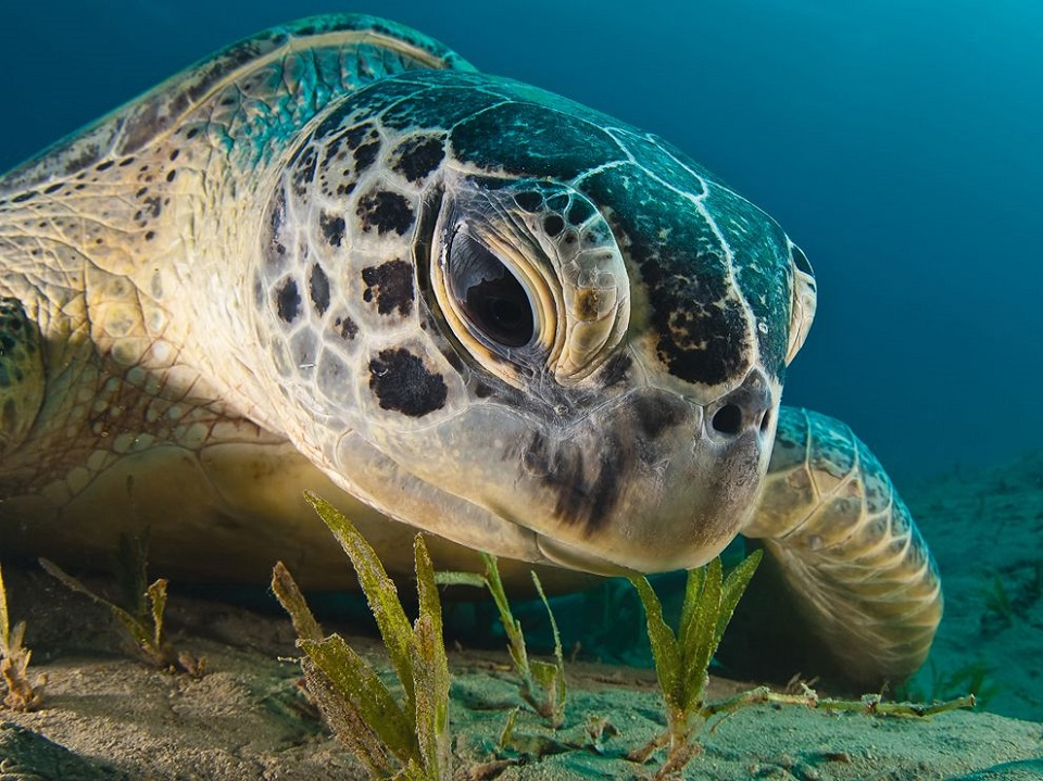 Green Sea Turtle, Red Sea