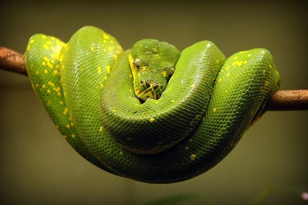 Green Snake Resting