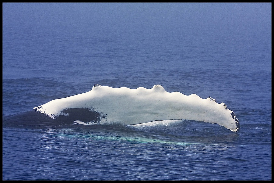 Humpback Whale - Megatera novaeangliae
