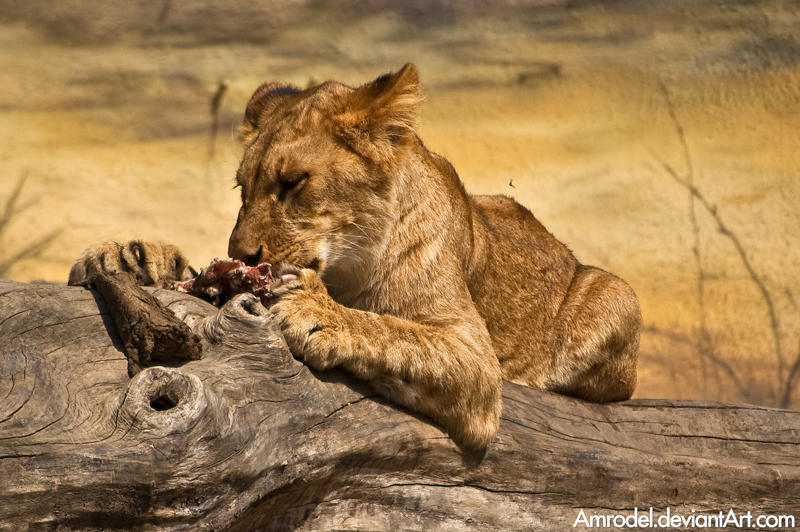 Hungry Lion Cub