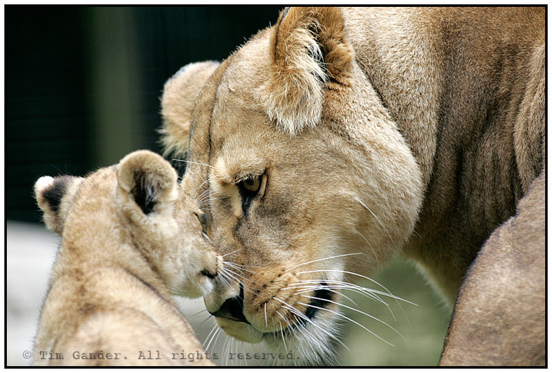 Lion Mother_and_cub__by_timgander