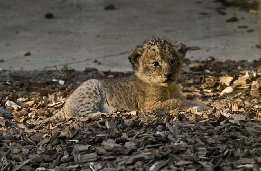 Lion baby lying on ground
