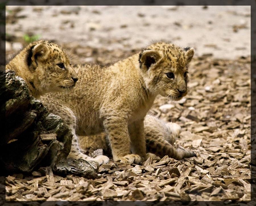 Lion_Babys_III_by_miezbiez