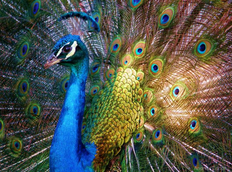Lovely Royal Peacock