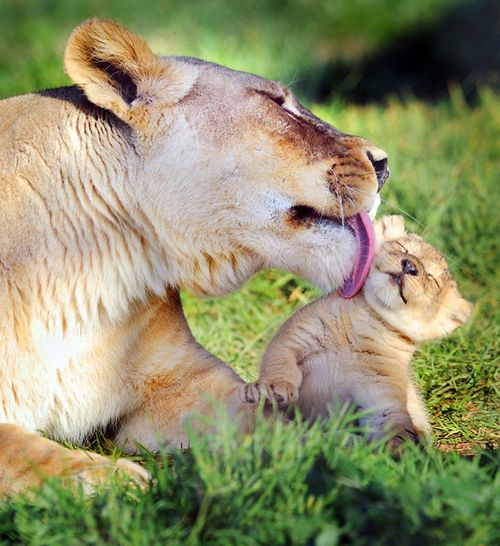 Mother and Lion Cub