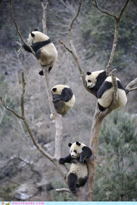 Pandas Climbing Up Tree