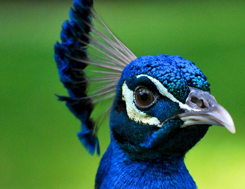 30 Most Beautiful Peacock Photos Stunning Peacocks Photography