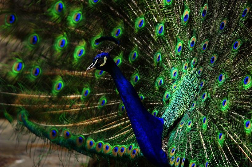 Peacock's Move
