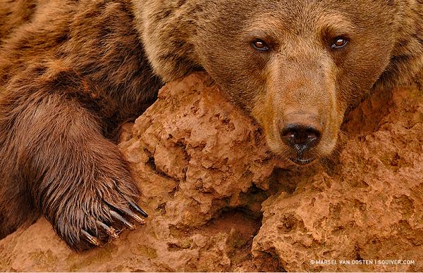 Red Brown Bear