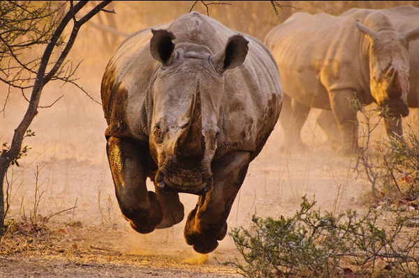 Rhino learning to fly