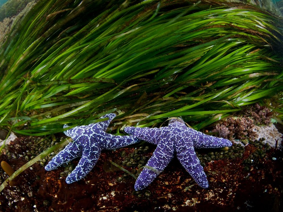 Sea Stars, British Columbia