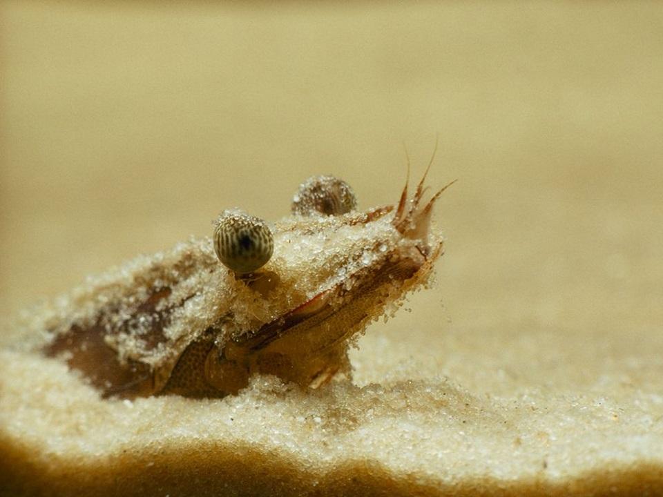 Shrimp Hiding in Sand, Florida