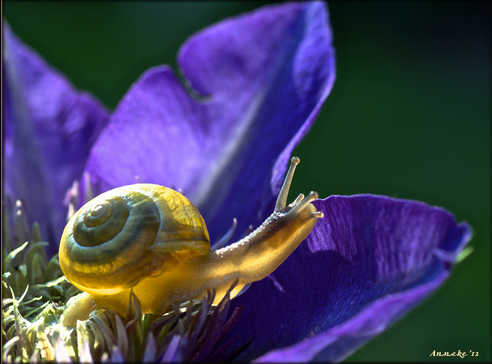 Snail in evening sunlight on Clematis