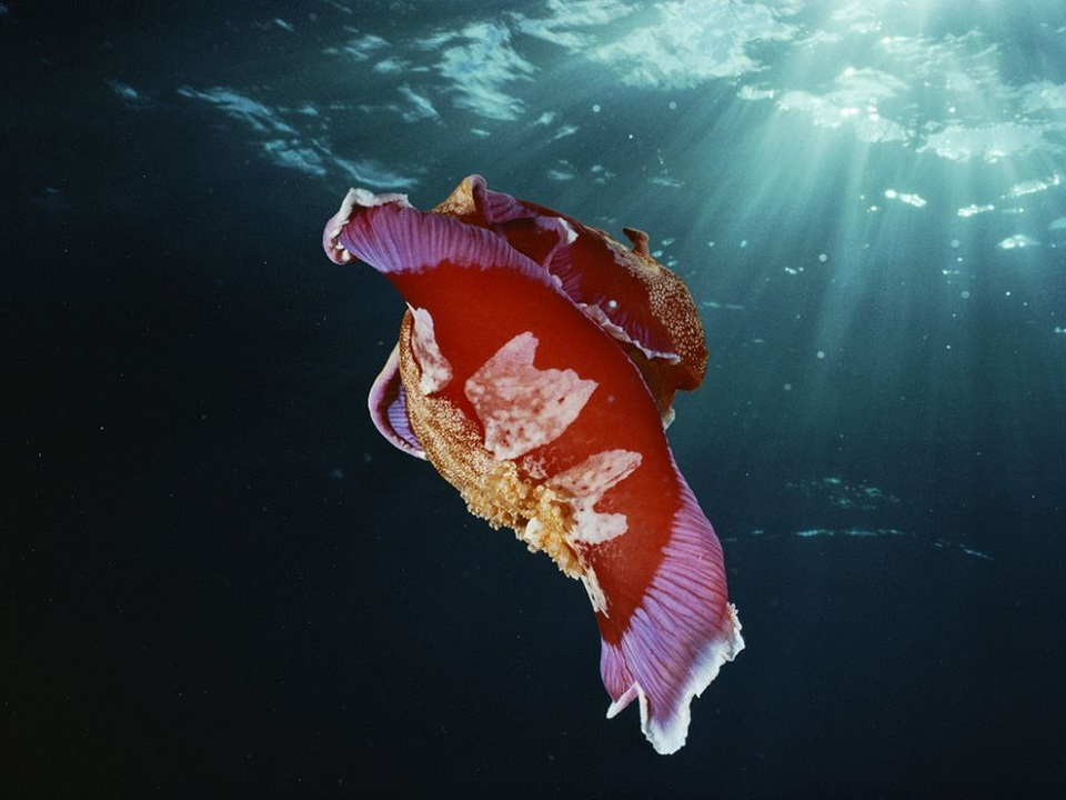 Spanish Dancer Nudibranch