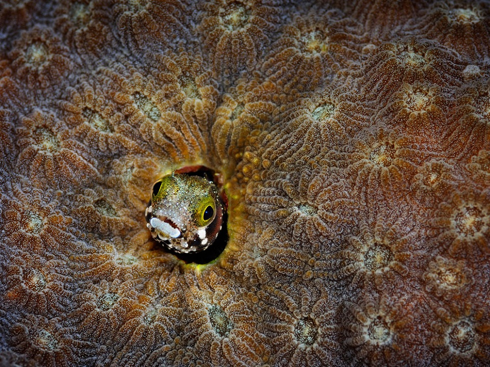 Spiny-Headed Blenny