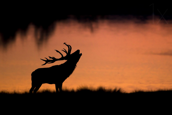 Stag belling under the sunrise