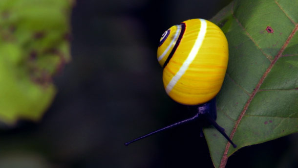 Yellow Shell Snail