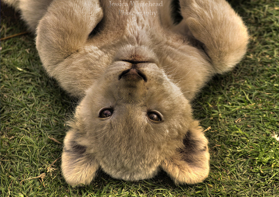 Beautiful Photos of Lion Cubs You Must Not Miss - Utterly ...