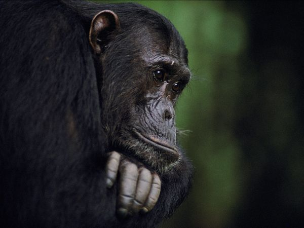 frodo-gombe-chimp-x