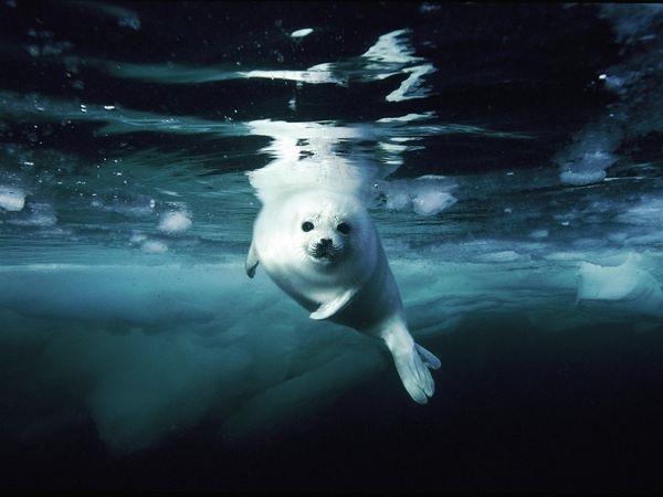 juvenile-harp-seal