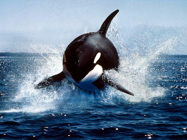 killer-whale photo