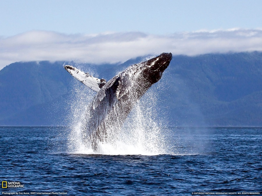 magnifient humpback whale jumping