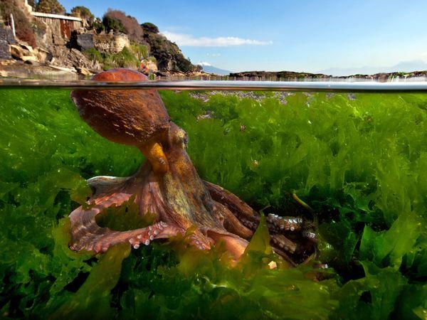 octopus-vesuvius