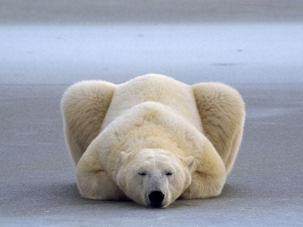polar-bear-rest