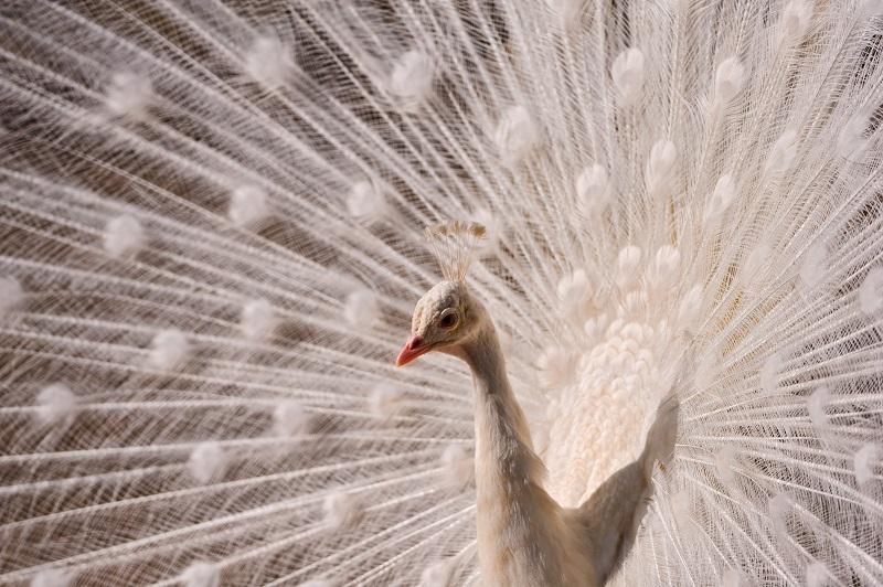 pretty white peacock