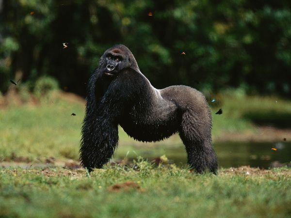 silverback-western-lowland-gorilla