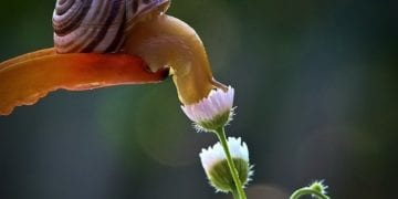 snail smelling flower