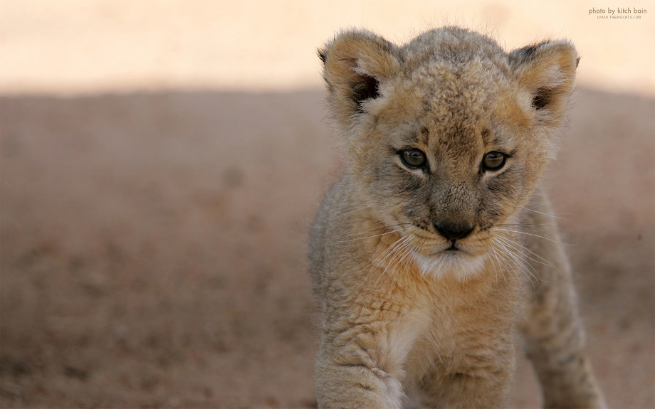 the little lion cub goes on walk