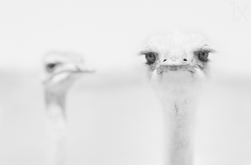 Ostriches in white - bird photography - nature photography