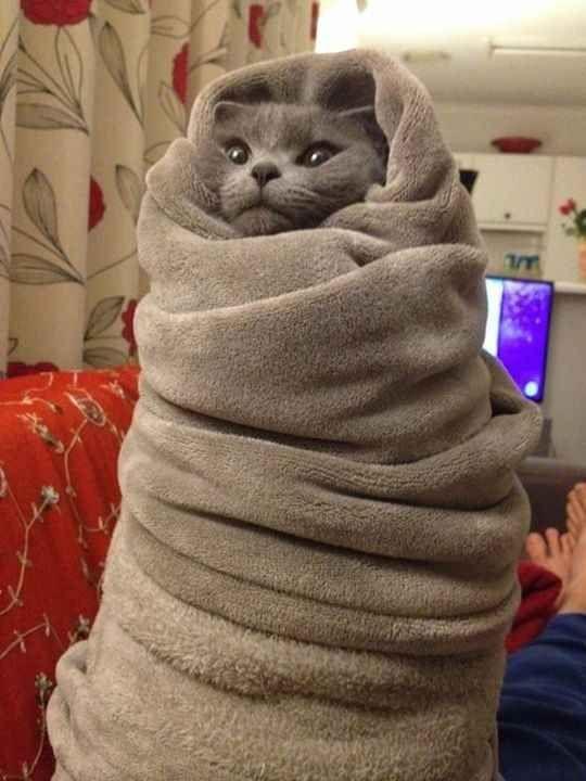 cat all wrapped up in blanket funny cat pics amazinganimalphotosdotcom
