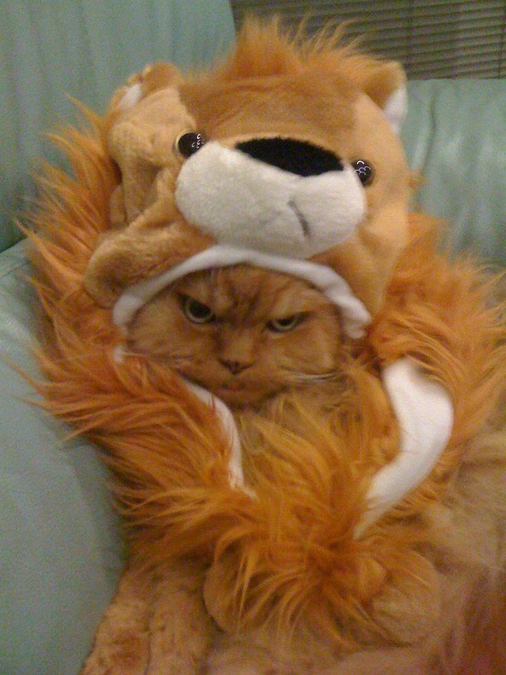 cat angry posing  funny cat pics amazinganimalphotosdotcom