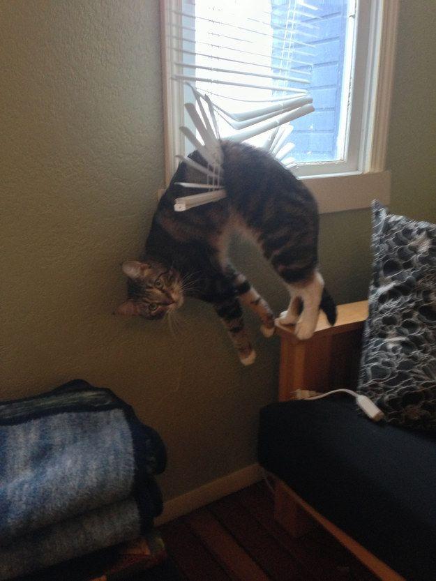 cat stuck in blinds  funny cat pics