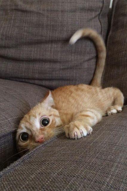 cat stuck in sofa cushions funny cat pics amazinganimalphotosdotcom