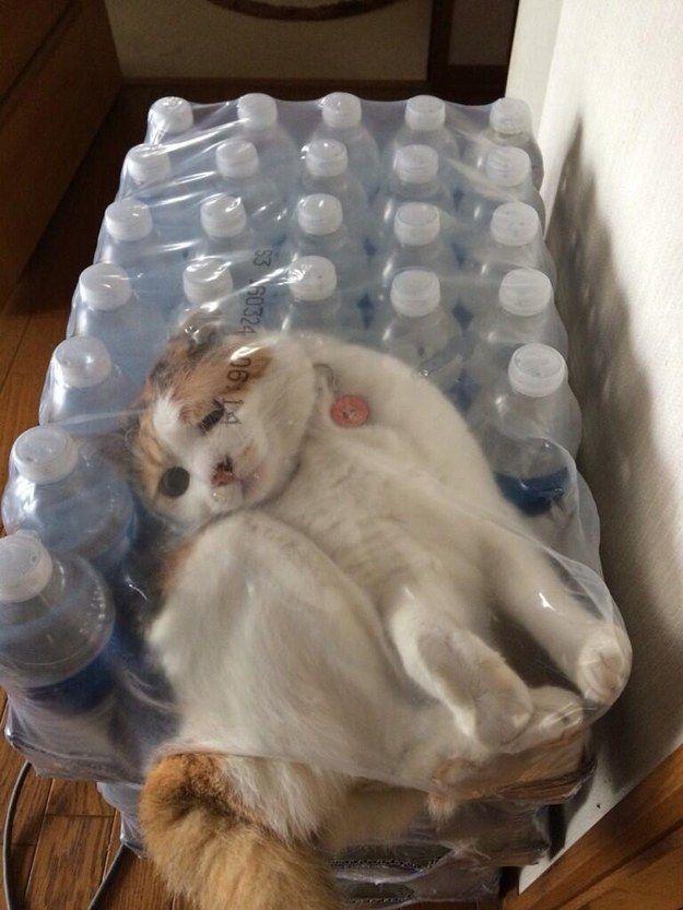 cat stuck in water bottle box funny cat pics amazinganimalphotosdotcom